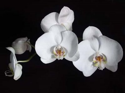 White Orchid 1
