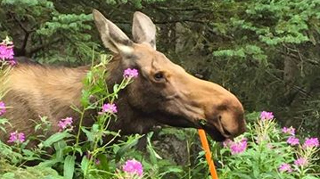 moose-fireweed-16-9